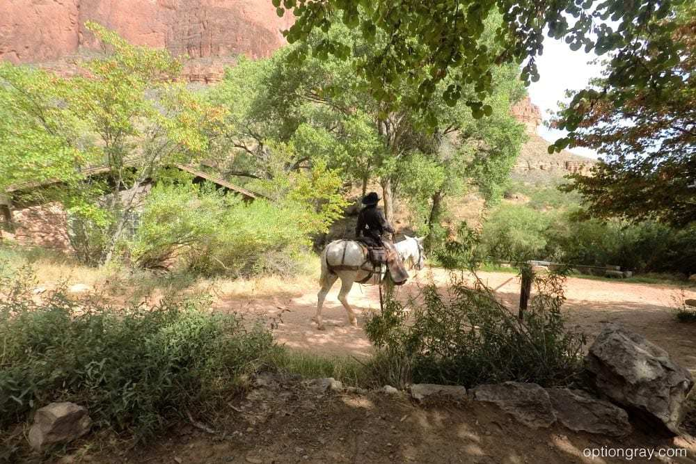 Mules coming through Indian Garden, Bright Angel Trail
